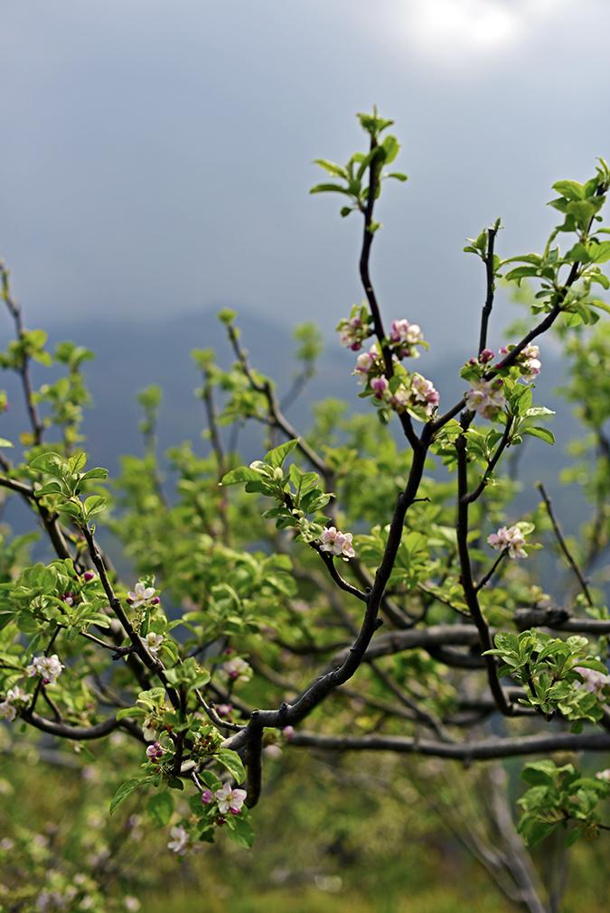 DYO The Organic Village Resort | Akanksha Redhu | apple blossoms